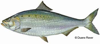 American Shad are a popular recreational target fish