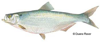 Hickory Shad are a popular Fly Angler Target